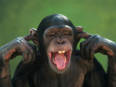 richard-stacks-chimpanzee-with-its-fingers-in-its-ears